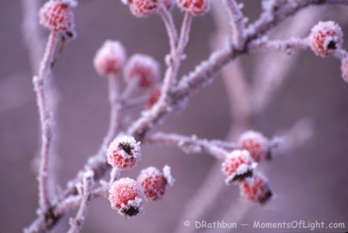 Frost Berries Prospect Park Colorado