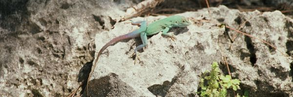 Multicolored lizard