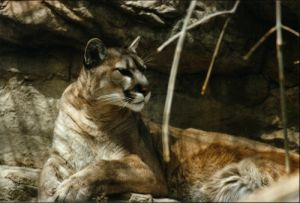 Captive Mountain Lion