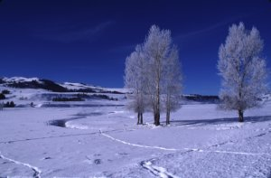 Frosted Aspen