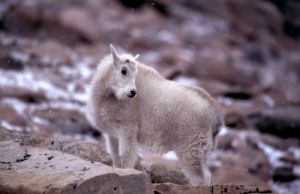 Early Snow on Baby Mountain Goat