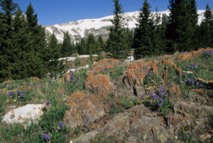 Snowy Range Wildflowers